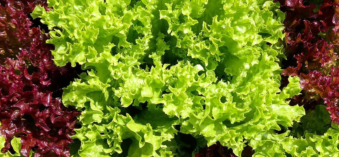 different colored lettuces